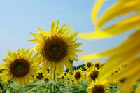 空とひまわり 11011003752| 写真素材・ストックフォト・画像・イラスト素材|アマナイメージズ