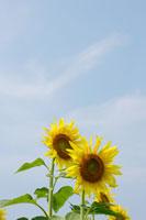 空とひまわり 11011003771| 写真素材・ストックフォト・画像・イラスト素材|アマナイメージズ