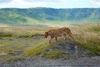 草原を歩くライオン
