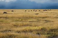草原の中のシマウマ