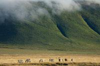 草原のシマウマと山にかかる雲