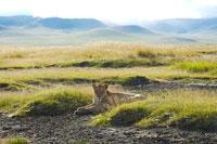草に座る雌ライオン