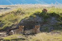 3匹の雌ライオン