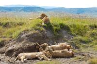 寝そべるライオン