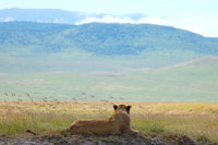 雌ライオンとサバンナ遠景