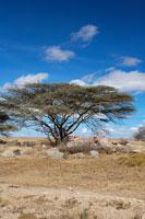 サバンナの木