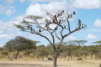 木にとまるハゲワシ