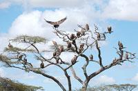 木にとまるハゲワシ 11011004197| 写真素材・ストックフォト・画像・イラスト素材|アマナイメージズ
