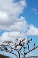 木にとまるハゲワシ 11011004200| 写真素材・ストックフォト・画像・イラスト素材|アマナイメージズ