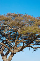 木に留まるたくさんのハタオリドリ