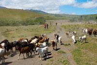 放牧するマサイ族