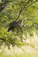 木で休むヒョウ