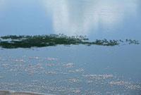フラミンゴの群れとナクル湖