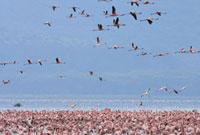 飛び立つフラミンゴの群れ