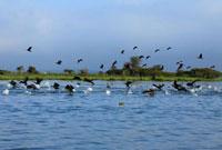 水鳥の群れ