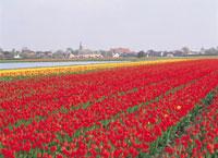 赤いチューリップ畑 オランダ