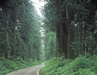 新緑の杉並木