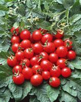 山盛りのプチトマト