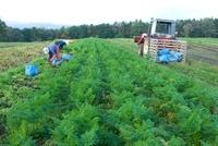 ニンジンの収穫