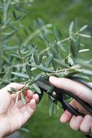 オリーブの枝を切る 11014005506| 写真素材・ストックフォト・画像・イラスト素材|アマナイメージズ