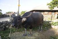 竹富島の黒牛