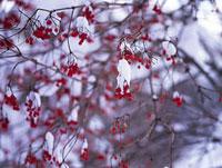 裏磐梯のカンボク 福島県 11014023160| 写真素材・ストックフォト・画像・イラスト素材|アマナイメージズ