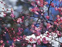 枝に積もった雪とウメの花