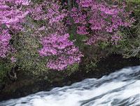 竜頭ノ滝からの流れとミツバツツジ