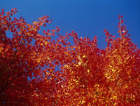 紅葉した樹木と青空