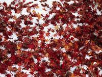 地面に積もった雪と紅葉 11014023418| 写真素材・ストックフォト・画像・イラスト素材|アマナイメージズ