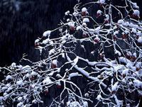 雪の積もった樹木 11014023427| 写真素材・ストックフォト・画像・イラスト素材|アマナイメージズ