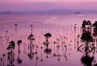 名蔵湾のマングローブ 夕景 11014026775| 写真素材・ストックフォト・画像・イラスト素材|アマナイメージズ