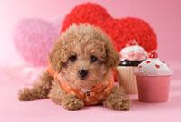 トイプードルのバレンタインイメージ