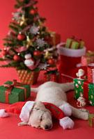 サンタクロースの衣装を着たまま眠るゴールデンレトリーバー