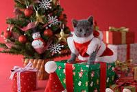 サンタクロースの衣装を着てプレゼントの上に座るロシアンブルー