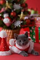 サンタクロースの衣装を着て床に伏せるロシアンブルー