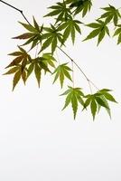 植物(モミジ) 11014031135| 写真素材・ストックフォト・画像・イラスト素材|アマナイメージズ