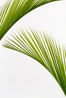 植物(ヤシ) 11014031150| 写真素材・ストックフォト・画像・イラスト素材|アマナイメージズ