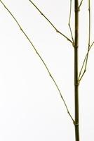 植物(タケ) 11014031188| 写真素材・ストックフォト・画像・イラスト素材|アマナイメージズ