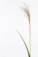植物(ススキ)