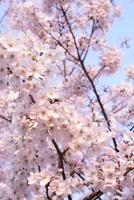 桜の花 11014031385| 写真素材・ストックフォト・画像・イラスト素材|アマナイメージズ