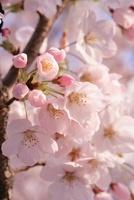 桜の花 11014031392| 写真素材・ストックフォト・画像・イラスト素材|アマナイメージズ