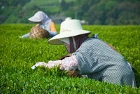 茶摘み 11014031539| 写真素材・ストックフォト・画像・イラスト素材|アマナイメージズ
