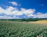 上富良野町 ジャガイモ畑と山並み