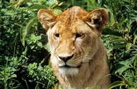 Lioness 11015070244| 写真素材・ストックフォト・画像・イラスト素材|アマナイメージズ