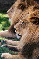 Lions 11015074327| 写真素材・ストックフォト・画像・イラスト素材|アマナイメージズ