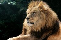 Lion 11015074328| 写真素材・ストックフォト・画像・イラスト素材|アマナイメージズ
