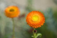 An orange gerbera