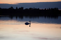 Swan on lake at sunset