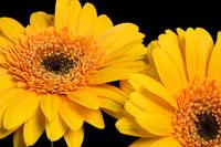 Yellow gerbera flowers 11015178657| 写真素材・ストックフォト・画像・イラスト素材|アマナイメージズ